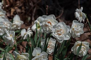 NYBG Flora-Spring 2015