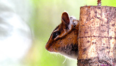 Peek-a-Chipmunk
