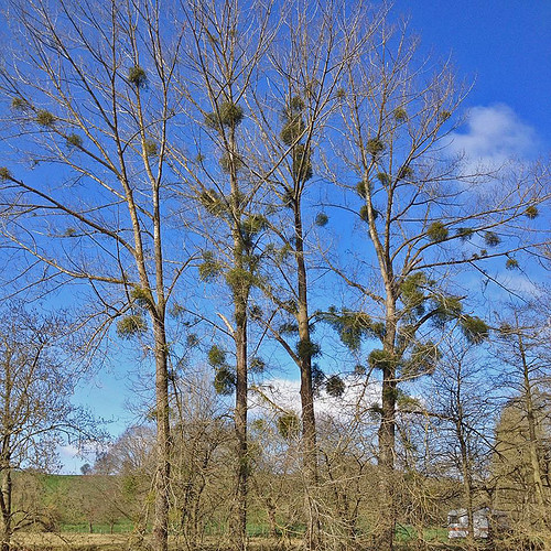 20150405_By Gerry West_Coventry CHA_Great Witley Walk_Mistletoe