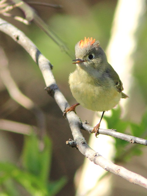 Ruby-crowned Kinglet 3-20150423