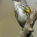 Yellow-rumped Warbler - Apr-19-2015 (3-1)