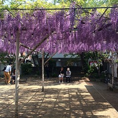 wisteria at noda community center #noda #nofilter #wisteria #fuji #osaka #藤 #野田 #大阪