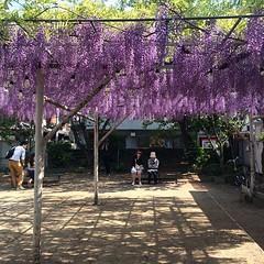 wisteria at noda community center #noda #nofilter #wisteria #fuji #osaka #藤 #野田 #大阪