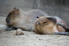 animal, rodent, prairie dog, fauna, capybara, whiskers, wildlife,