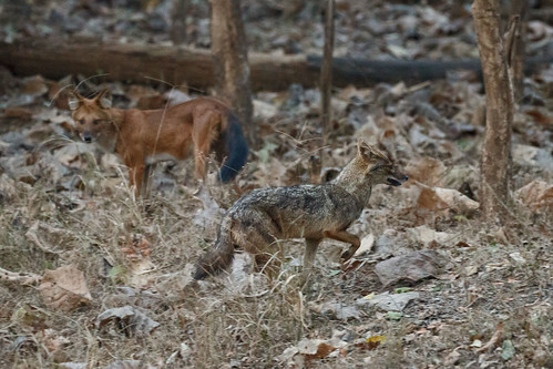 Indian Wild dog and Jackal
