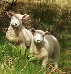 Twin lambs in Aberdeenshire