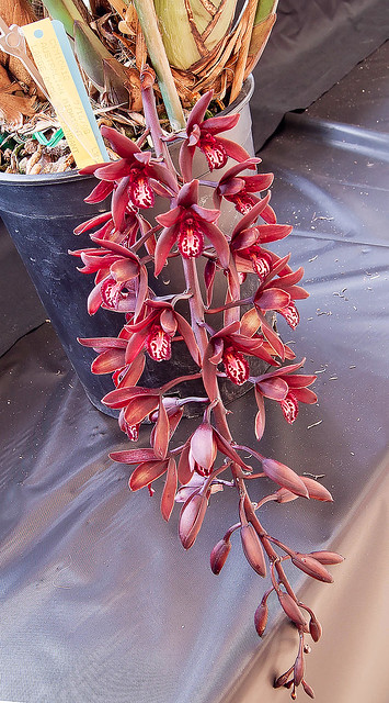 Cymbidium Australian Midnight