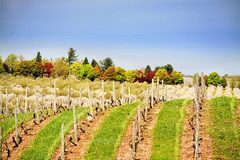 Vineyard and Orchards: Old Mission Peninsula
