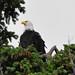 2015-05-23 Bald Eagle (02) (1024x680)