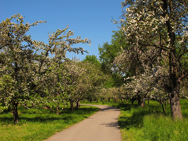 Bicycle trail treelined by blooming apple trees