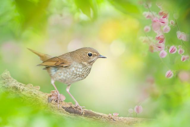 ~ Rufous-tailed Robin   紅尾歌鴝 ~