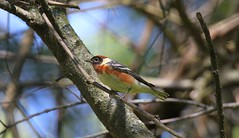 A Bay-breasted Warbler
