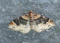 70.052 Dark-barred Twin-spot Carpet - Xanthorhoe ferrugata