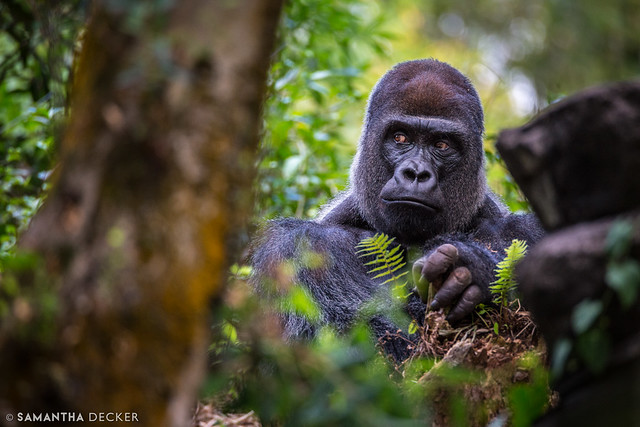 A Gorilla Lost in Thought