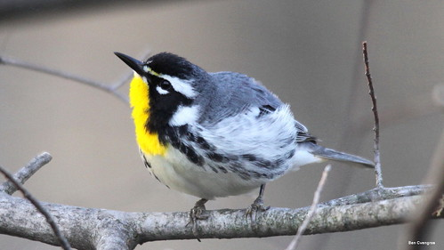 Yellow-throated Warbler (Explored)