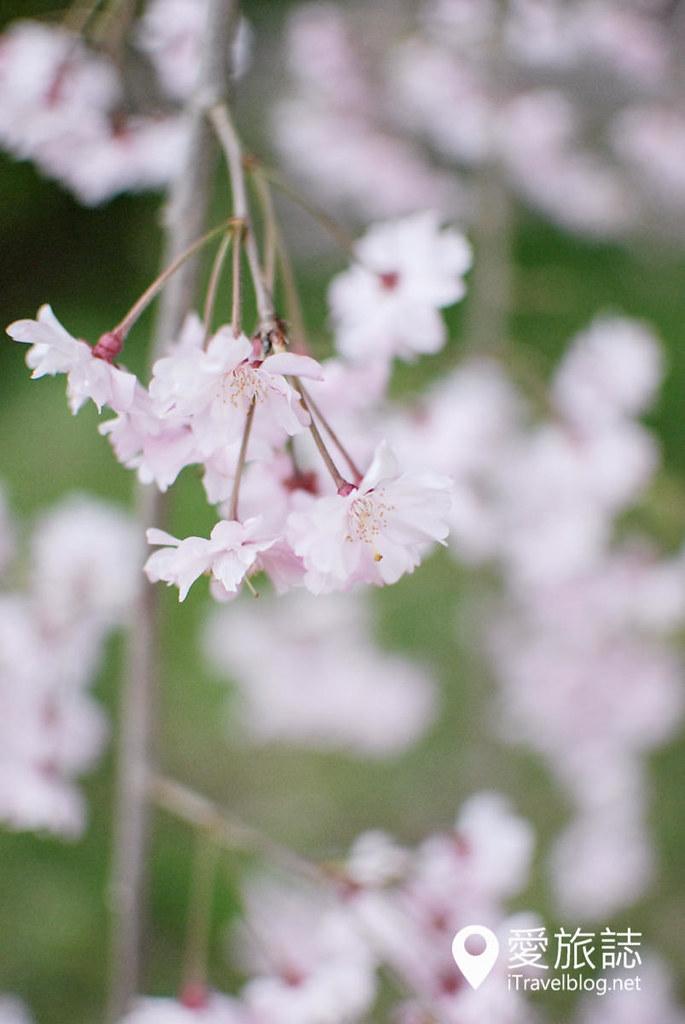 京都赏樱景点 半木之道 20