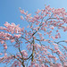 Weeping Cherry by peaceful-jp-scenery