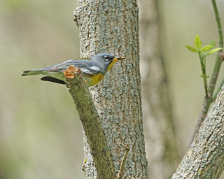 Northern Parula with Brunch