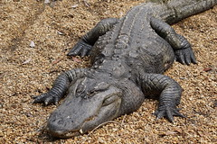 animal, crocodile, reptile, nile crocodile, fauna, american alligator, alligator, crocodilia, wildlife,