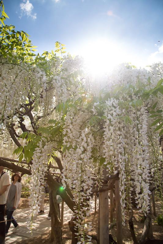 ashikaga_flowerpark-41