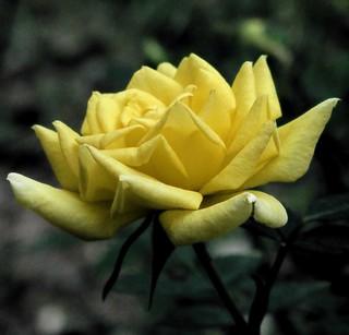 My Yellow Rose Of Texas
