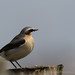Wheatear by Photomad2013