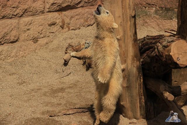 Eisbär Fiete im Zoo Rostock 04.05.2015 52