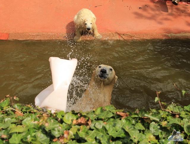 Eisbär Fiete im Zoo Rostock 04.05.2015 25