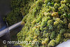 SOUTH AFRICA- Process of grapes being made in to wine