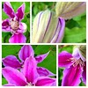 The clematis decided to start to open up this morning.  It is covered in buds.  #garden #maryland #frederickcounty #picstitch