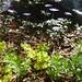 Small photo of Anemone, Sweet Woodruff, Creeping Jenny