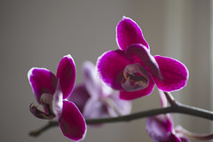 flower, purple, violet, macro photography, phalaenopsis equestris, flora, moth orchid, close-up, pink, petal, organ,