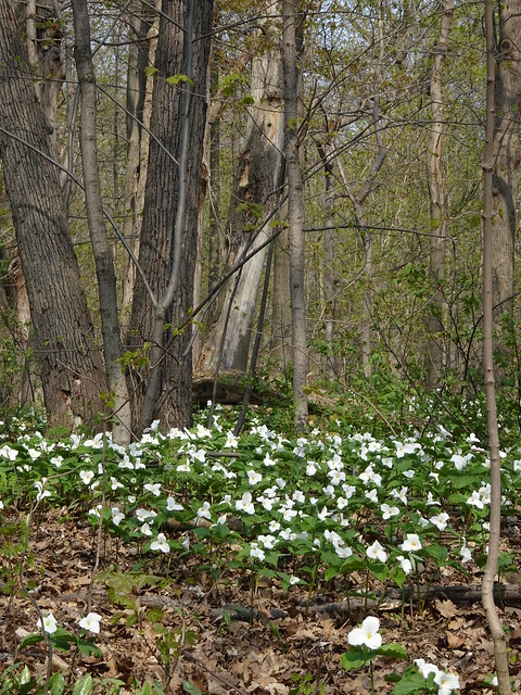 A Profusion of Trilliums
