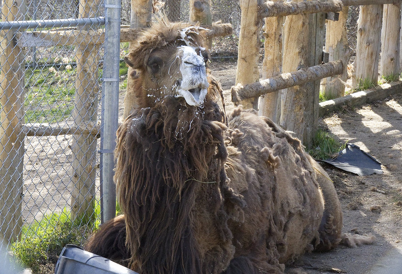 Bactrian Camel male2