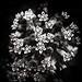 Milkweed Blossom by Gene Wilburn