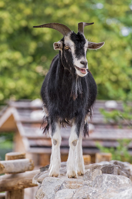 Goat on the wall