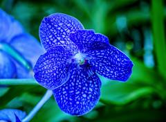 ****Blue Vanda Orchid Macro