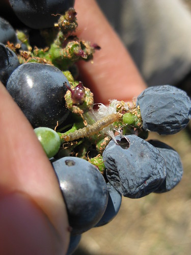 Close up of damage on a grape cluster with EGVM webbing