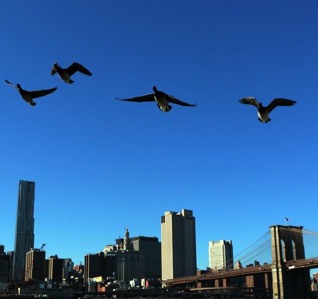 Brooklin Bridge Park: anatre in volo