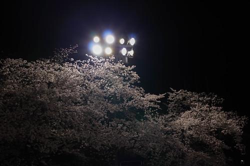 内野の夜桜 2015