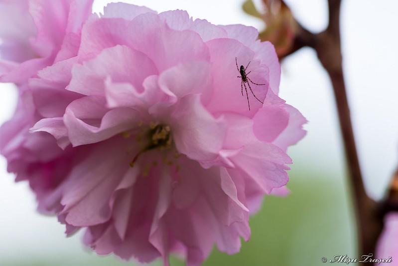 flori de cireș japonez