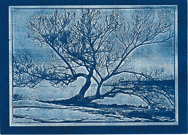 "Cyanotype ""Fail"" - Willow"