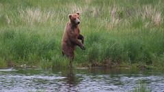 Niedźwiedź grizzli - na stojaco więcej widać