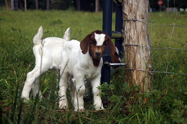 new baby goats!