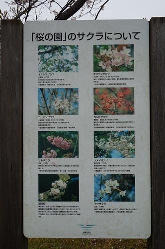 8_矢那川ダム広場の桜_2
