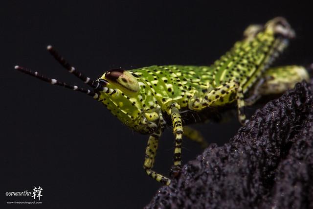 Pulau Ubin Grasshopper-5277-