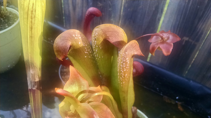 Sarracenia minor.