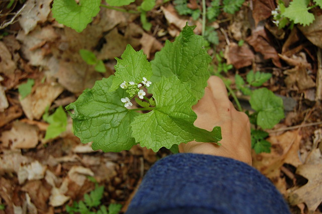 Harvesting garlic mustard greens by Eve Fox, the Garden of Eating, copyright 2016