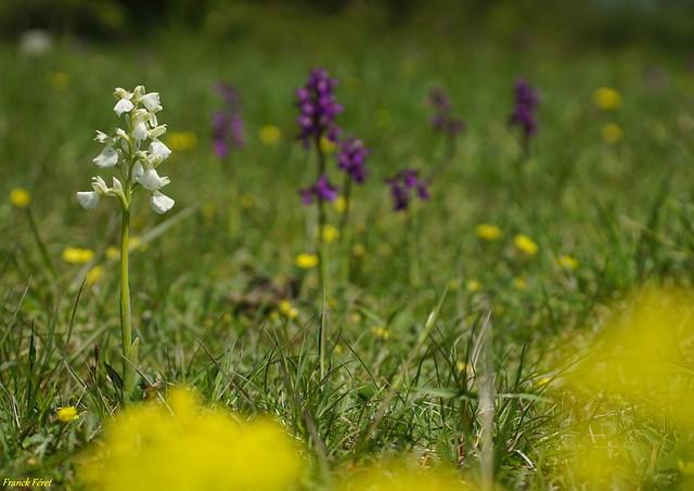 Orchis Morio - Variation Blanche Pelouse le Tarte de Cessey