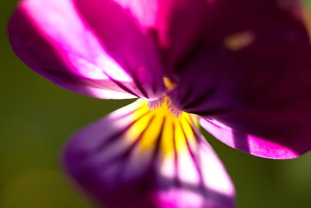 Violet pansy macro
